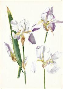 Violette schwertlilien, 1978 gemalt, Martha krug, Aquarell