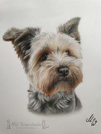 Yorkshire terrier, Zeichnung, Hund, Poly