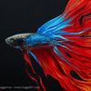 Kampffisch, Acrylmalerei, Malerei, Entwurf