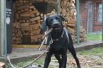 Hund, Labrador, Cleopatra, Pinnwand