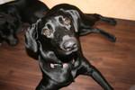 Hund, Knuffig, Labrador, Cleopatra