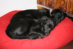 Labrador, Hund, Niedlich, Ramses