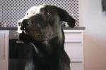 Niedlich, Hund, Ramses, Labrador
