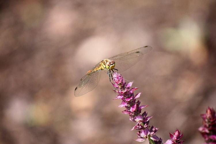 Tiere, Blüte, Natur, Insekten, Libelle, Sommer