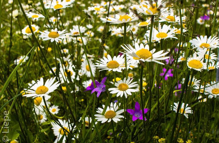 Blüte, Magariten, Frühling, Wiese, Blumenwiese, Fotografie
