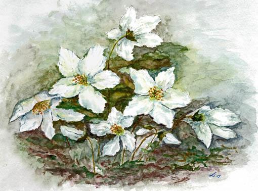 Christrosen, Blumen, Blüte, Garten, Weiß, Frühling