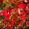 Herbstblatt 3 - herbst, sonne, rot, fotografie, blätter, park, fürst-pückler, bad muskau
