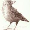 Krähe, Zeichnung, Monochrom, Jungtier