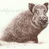 Illustration, Zeichnung, Wildtier, Wildschwein