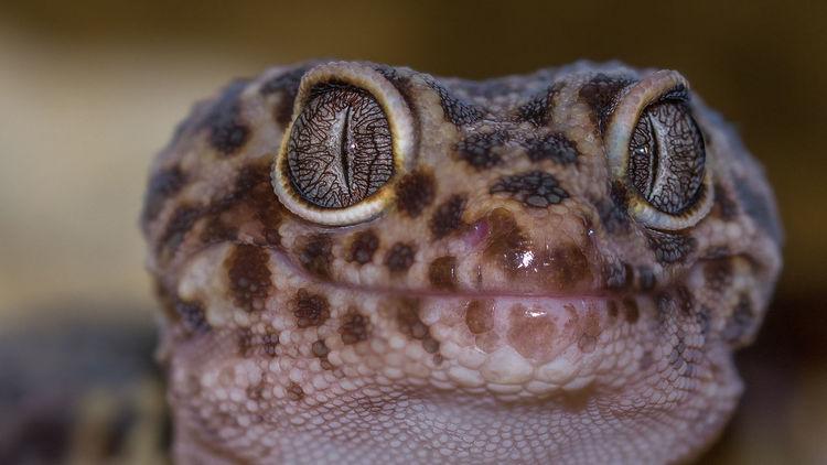 Leopardgecko, Gecko, Reptil, Fotografie