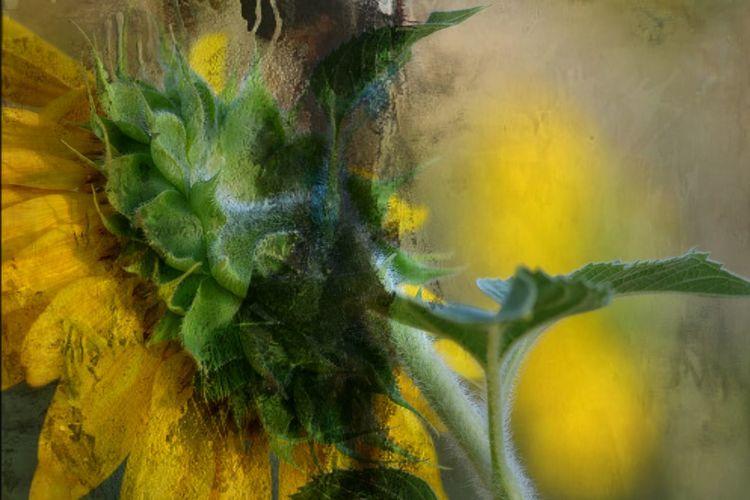 Bearbeitung, Sonnenblumen, Natur, Fotografie