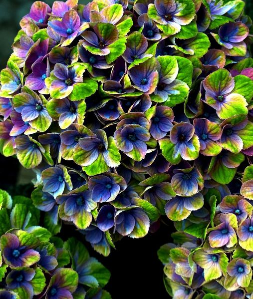 Hdr, Farben, Hortensien, Fotografie
