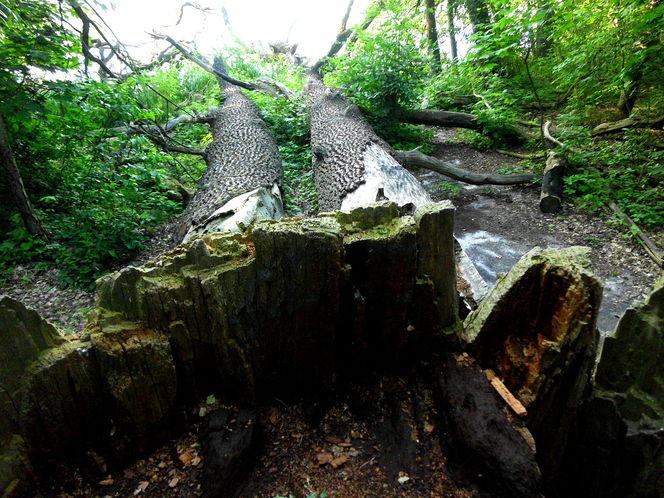 Eichen, Baumfall, Fotografie