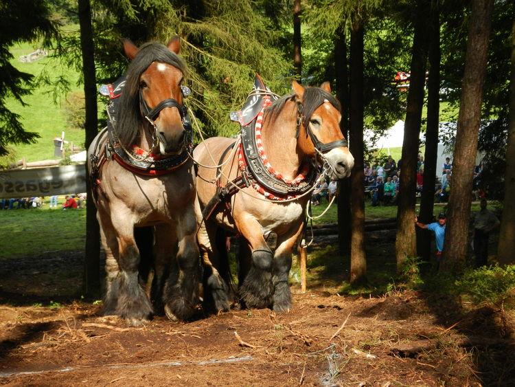 Pferde, Kaltblut, Fotografie