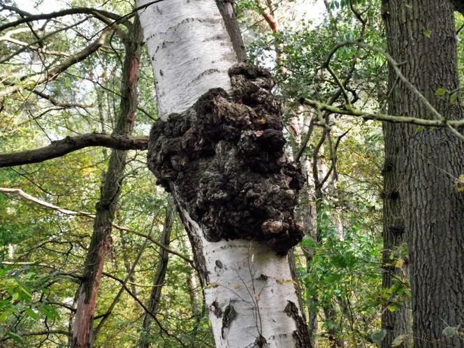 Herbst, Birken, Wald, Pilze, Fotografie