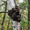 Birken, Wald, Pilze, Herbst