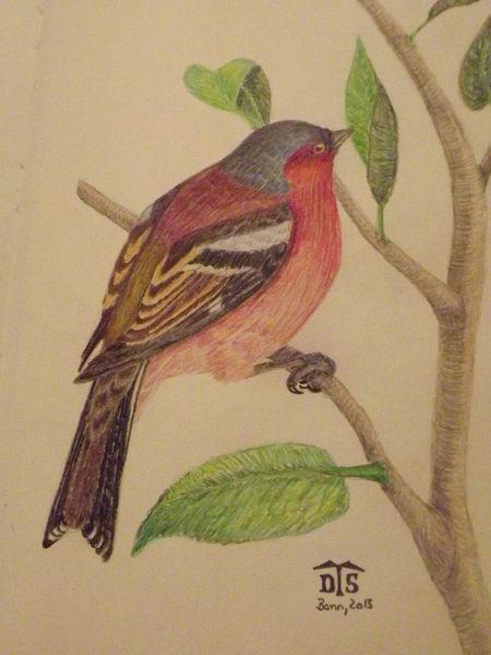 Chaffinch, Vogel, Fink, Buchfink, Singvogel, Zeichnungen
