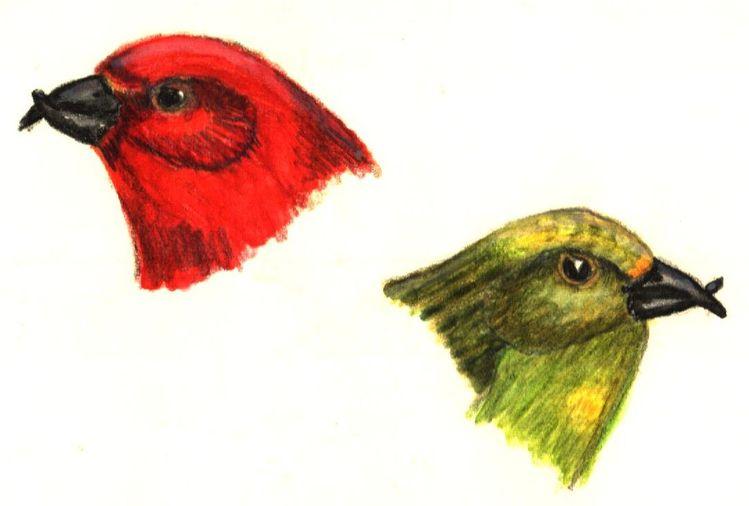 Fichtenkreuzschnabel, Vogel, Fink, Finken, Singvogel, Kreuzschnabel
