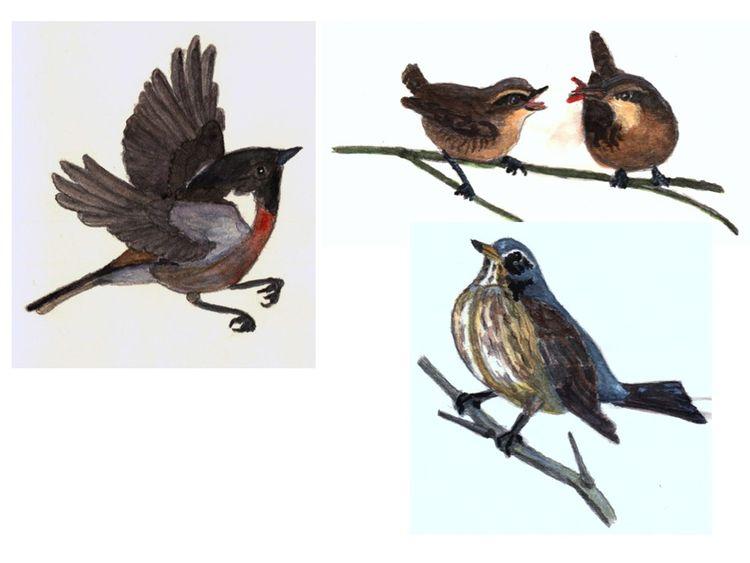 Zaunkönige, Vogel, Singvogel, Wacholderdrossel, Schwarzkehlchen, Zaunkönig