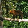 Baumstamm, Balanceakt, Bär, Balance halten