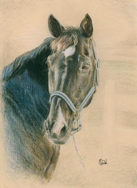 Tiere, Pferde, Zeichnung, Rappe, Hengst, Zeichnungen