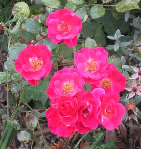 Magenta, Hagebuttenblüten, Blumen, Pflanzen, Fotografie