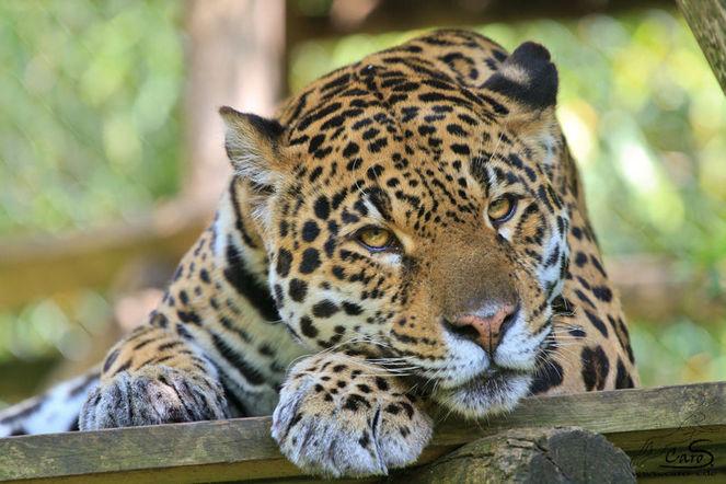 Müde tired, Jaguar, Fotografie