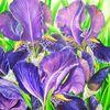Bartiris, Bourdillon, Iris barbata, Irisblüte