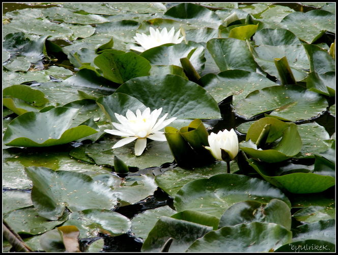 Fotografie, Pflanzen, See, Weiher, Seerosen