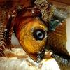 Fisch, Essen, Makrele, Augen