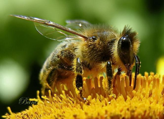 Makro, Honigbiene, Biene, Blüte, Insekten, Natur