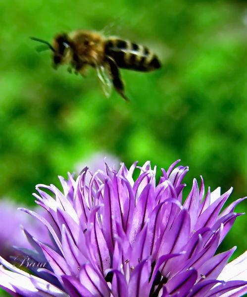 Natur, Insekten, Biene, Pflanzen, Blumen, Fotografie