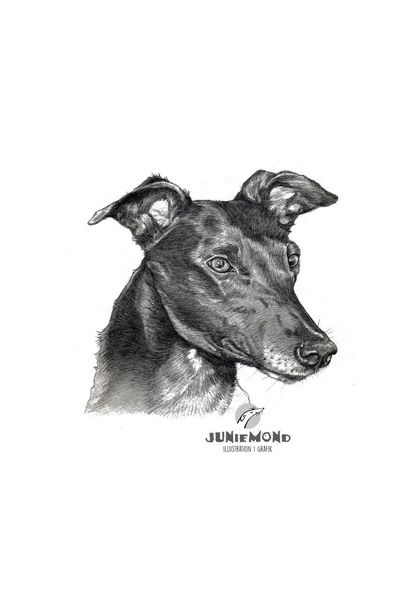 Sighthound, Aquarellmalerei, Greyhound, Hundeportrait, Hund, Hundekopf