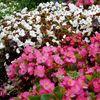 Busch, Strauch, Blumen, Farben