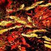 Natur, Rot, Pflanzen, Weizen