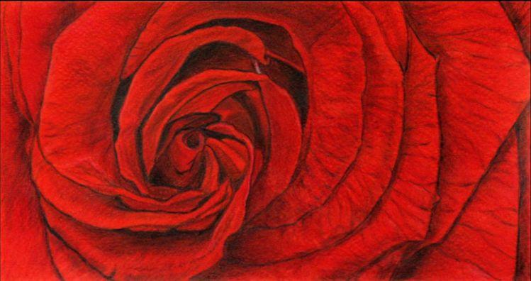 Pflanzen, Zeichnung, Blumen, Rot, Blüte, Rose