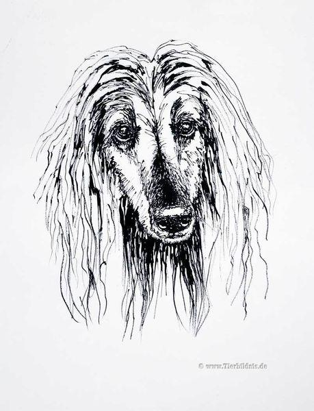 Grafik, Bambusfeder, Federzeichnung, Hundeportrait, Afghane, Tusche
