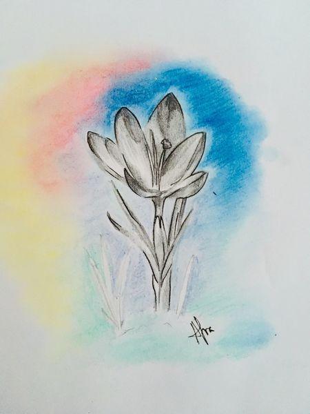 Bleistiftzeichnung, Natur, Frühling, Krokus, Zeichnungen