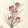 Krokus, Aquarellmalerei, Frühling, Blumen