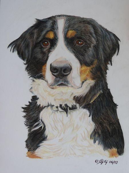 Sennenhund, Buntstiftzeichnung, Portraitzeichnung, Hundeportrait, Hund, Berner