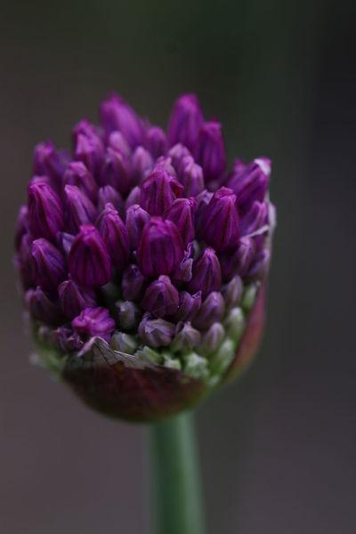 Zierde, Natur, Poesie, Zierlauch, Blumen, Edel