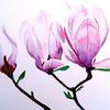 Blüte, Blumen, Magnolien, Aquarell