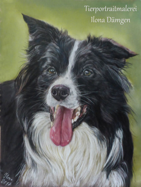 Pastellmalerei, Tierportrait, Border collie, Hundeportrait, Malerei, Collie