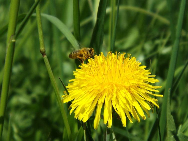 Blüte, Löwenzahn, Gelb, Blumen, Biene, Frühling