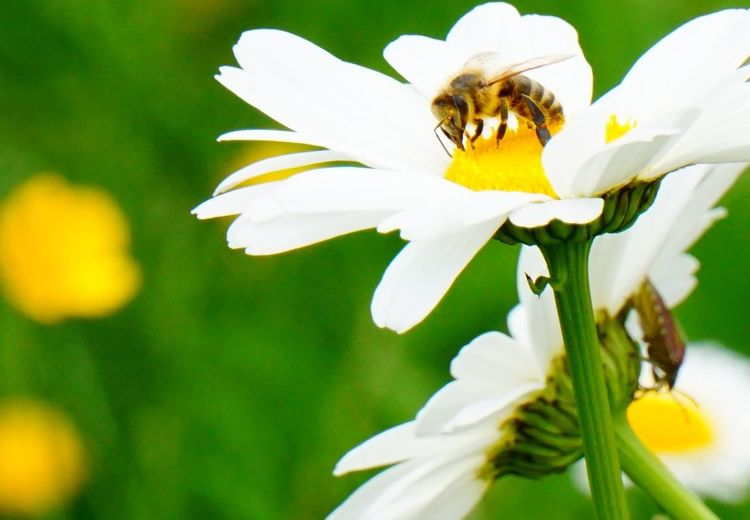 Blüte, Margarite, Honigbiene, Fotografie