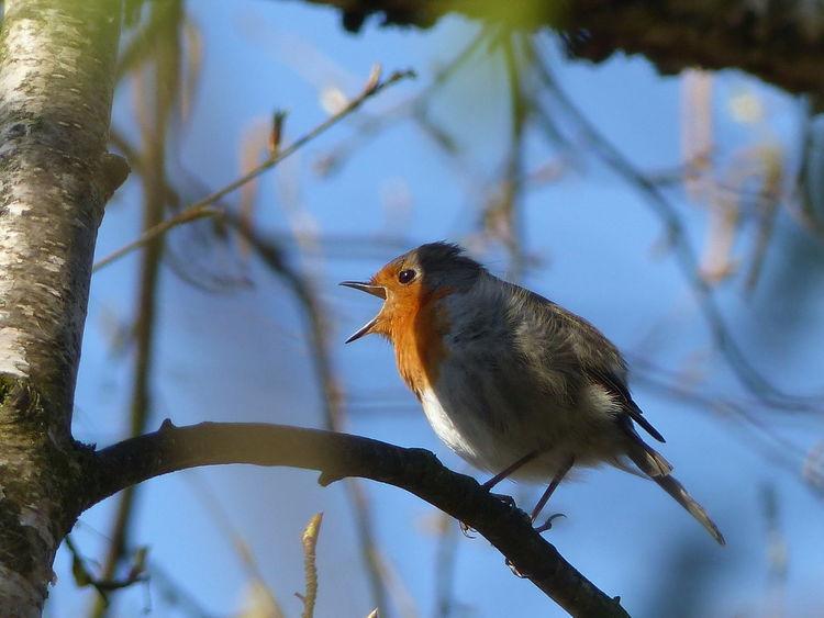 Birken, Schatten, Dämmerung, Rotkehlchen, Singvogel, Robin