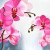Fotorealismus, Orchidee, Blüte, Pink