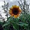 Sonnenblumen, Blumen, Natur, Fotografie