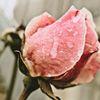 Natur, Rose, Fotografie