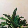 Bananenbaum, Natur, Ölmalerei, Blätter